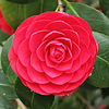 State flower of Alabama; Camellia. Photo from wikipedia